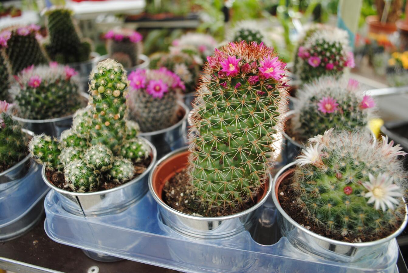 Виды кактусов и уход за ними