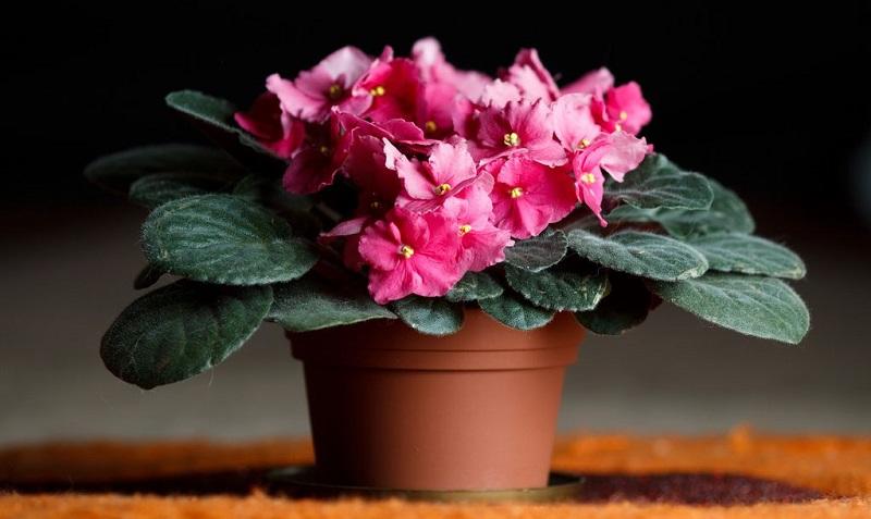 Описать комнатное растение фиалка