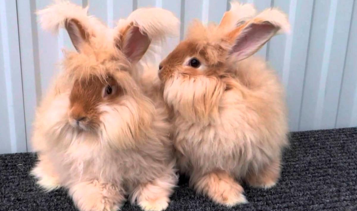 Подробное описание и характеристика ангорского кролика