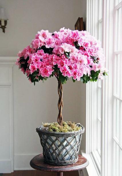 Комнатное растение азалия уход