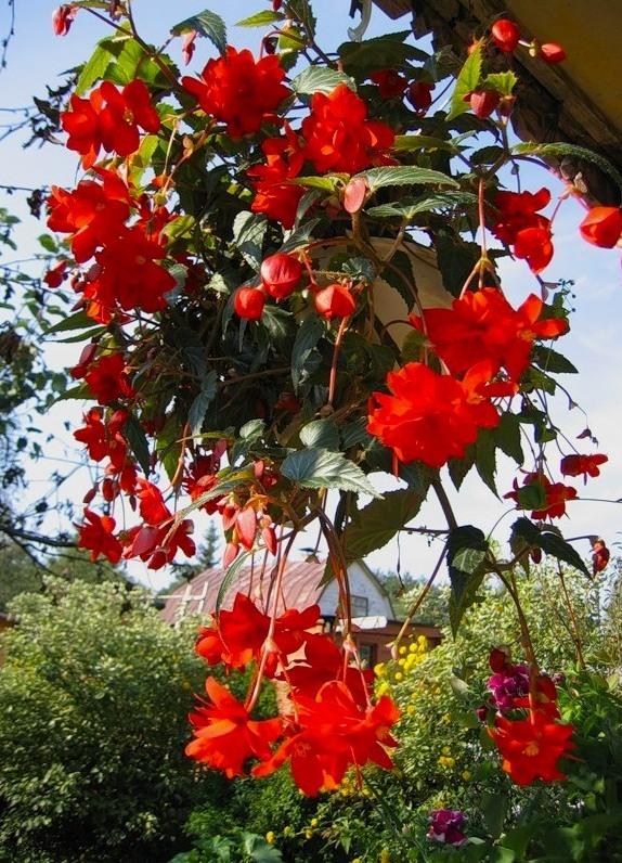 Бегония клубневая: посадка и уход в саду (на даче ), в открытом грунте