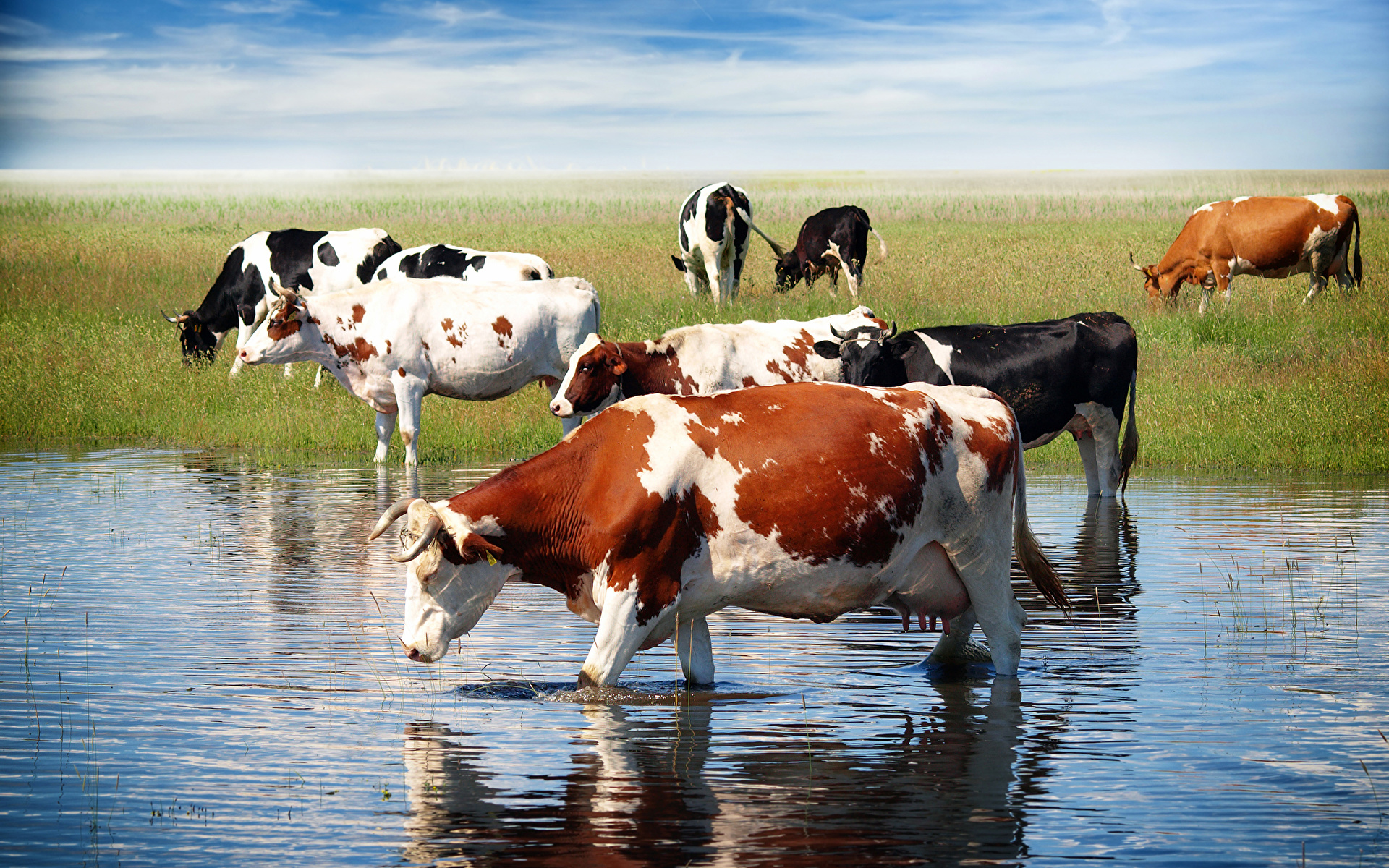 Беспривязное доение коров