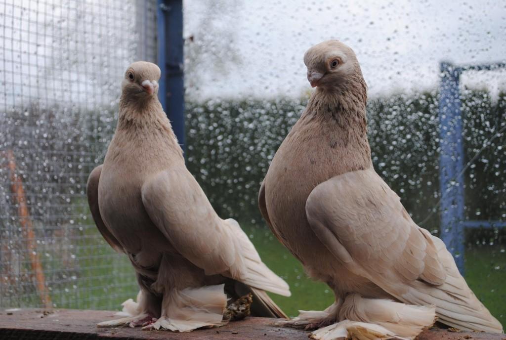 доставку узбекские голуби фото с названиями наслаждается дуэтом первоначальным