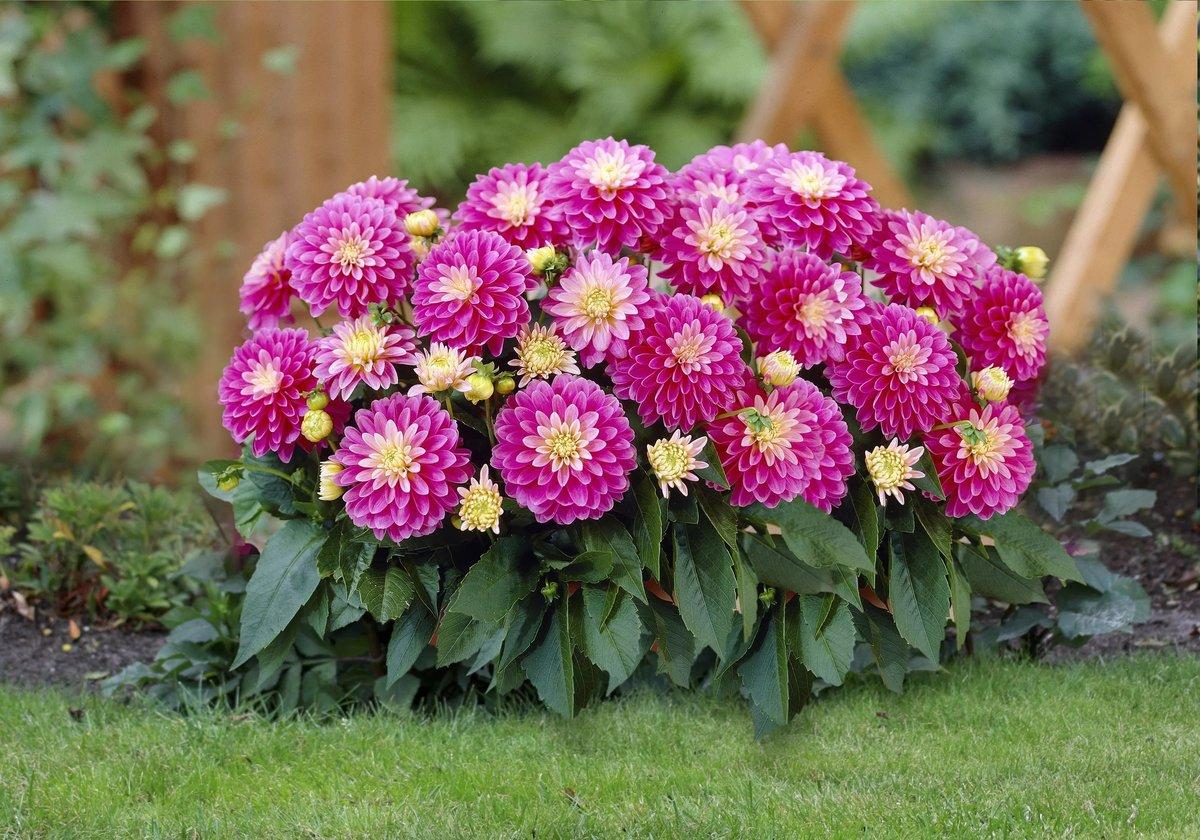 они фото цветов многолетников с названиями низкорослые контрастных тканей пальто