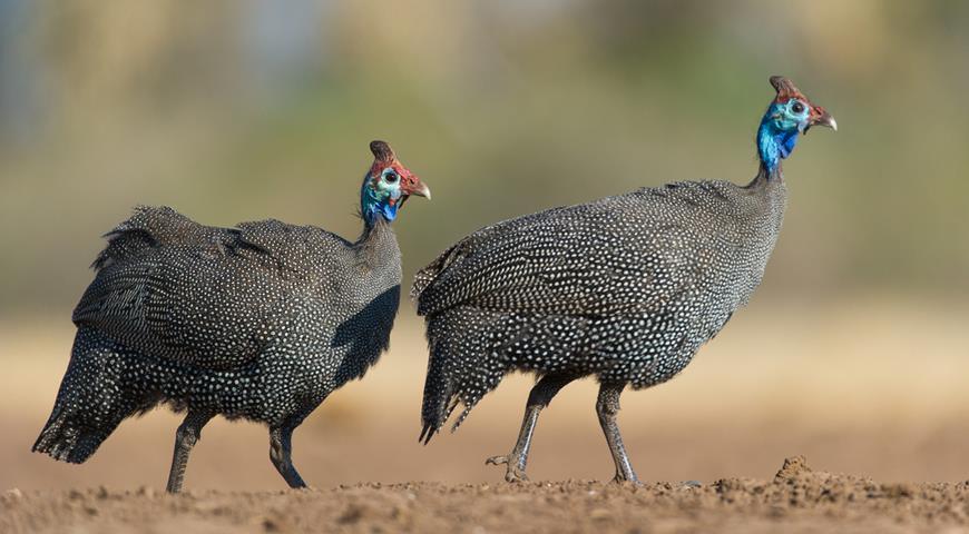 Цесарки (47 фото): содержание и разведение птиц в домашних условиях вместе с курами. Описание обыкновенной цесарки и других пород. Как они выглядят{q}