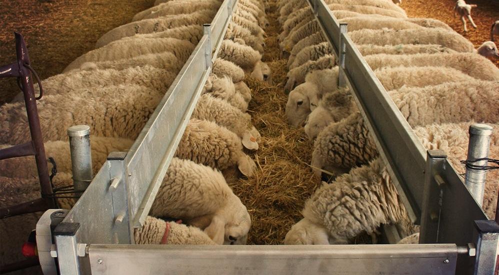 Овцы зимой содержание кормление сколько нужно сена