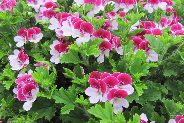 Подкормка герани для цветения йодом и перекисью, когда нужна подкормка. Что надо, чтобы приготовить удобрение из этих веществ