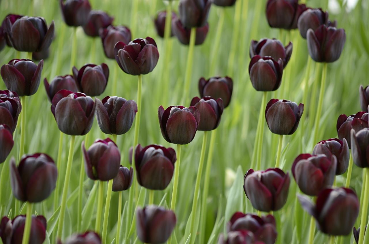 Шоколадкой, открытки черные тюльпаны