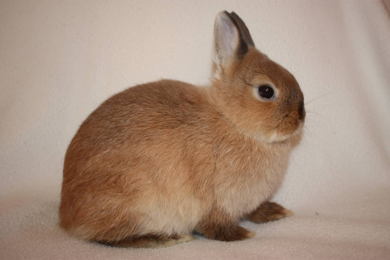 Размеры домашнего кролика