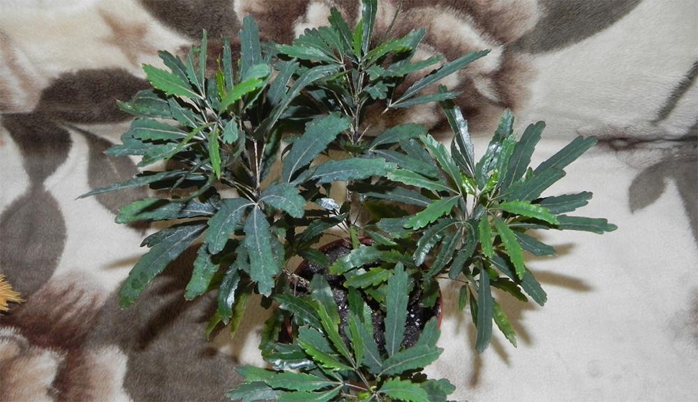 Домашние цветы листья в крапинку
