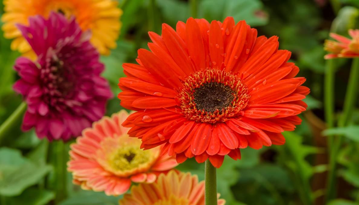 Герберы садовые (34 фото): посадка и уход. Как вырастить герберы на даче? Как сажать на рассаду? Когда сеять в открытый грунт?