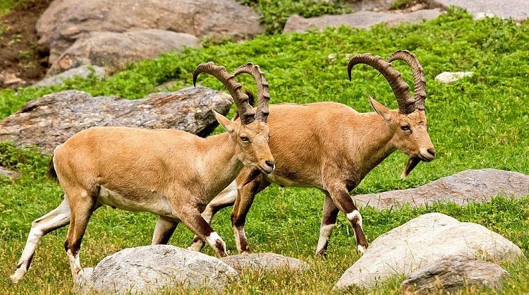 Где живут горные козлы