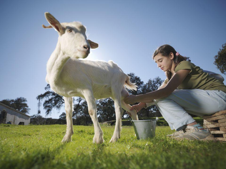 Сколько у козы доек