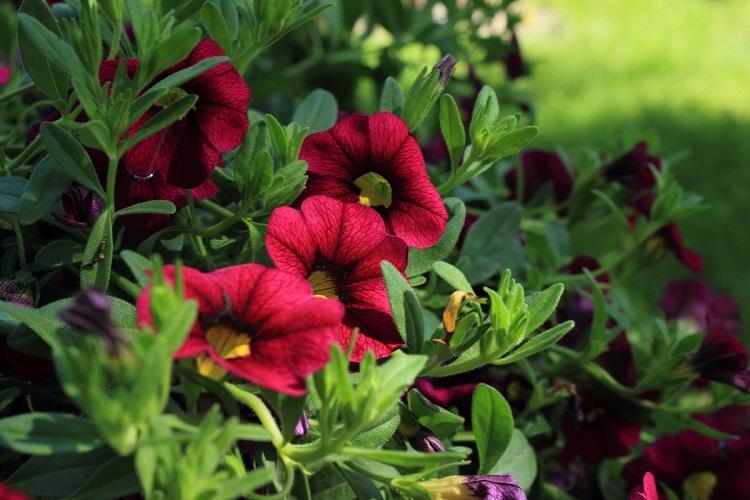 как сажать петунию семенами в домашних