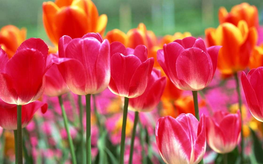 Как сажать тюльпаны весной — пошаговая инструкция и рекомендации