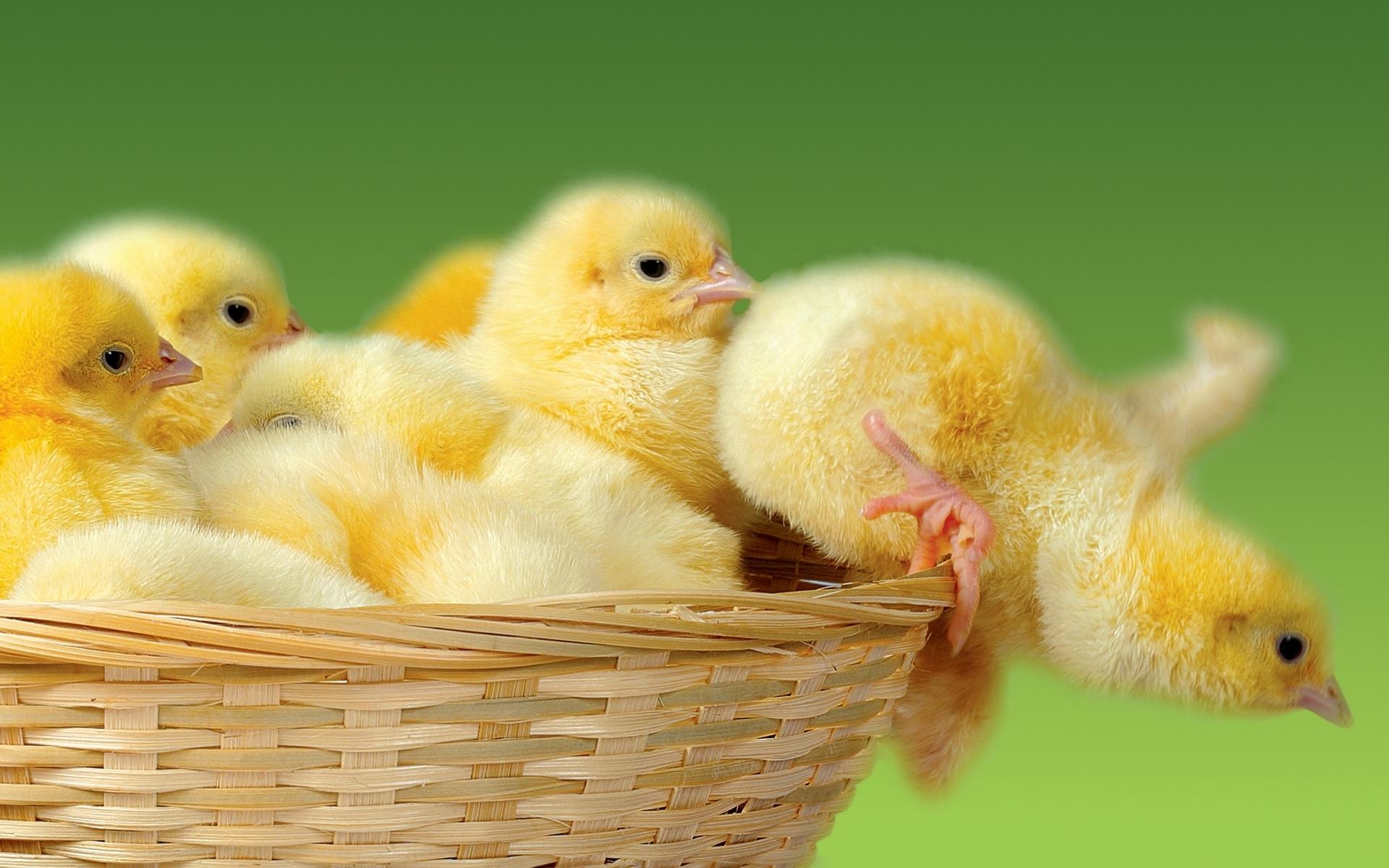 Вывод цыплят в домашних условиях: хранение яиц, закладка в инкубатор, стадии инкубации