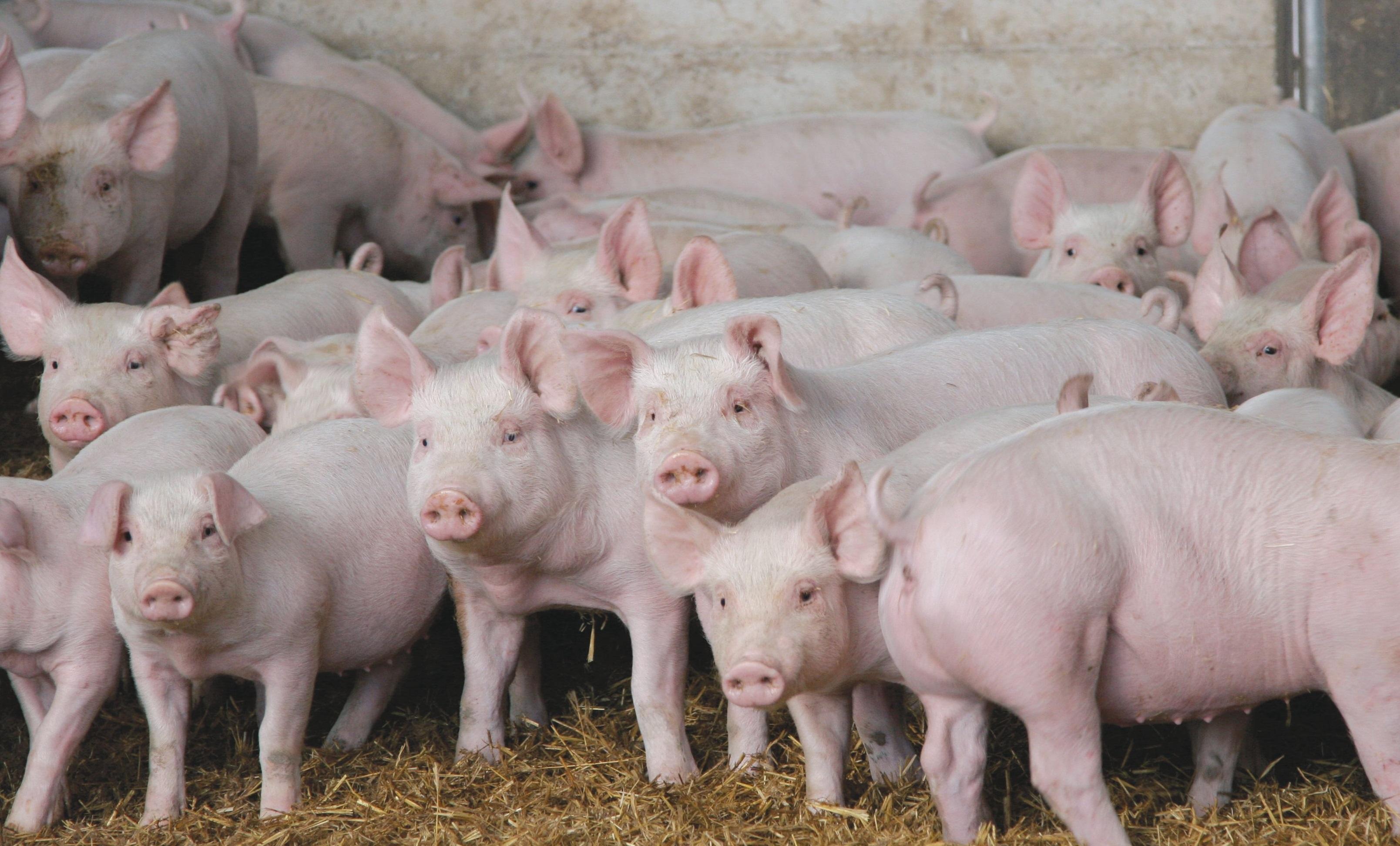 Разведенье свиновоства в ленеградской облосте