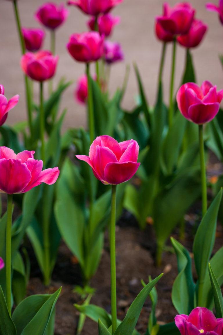 Тюльпан сорт катинка