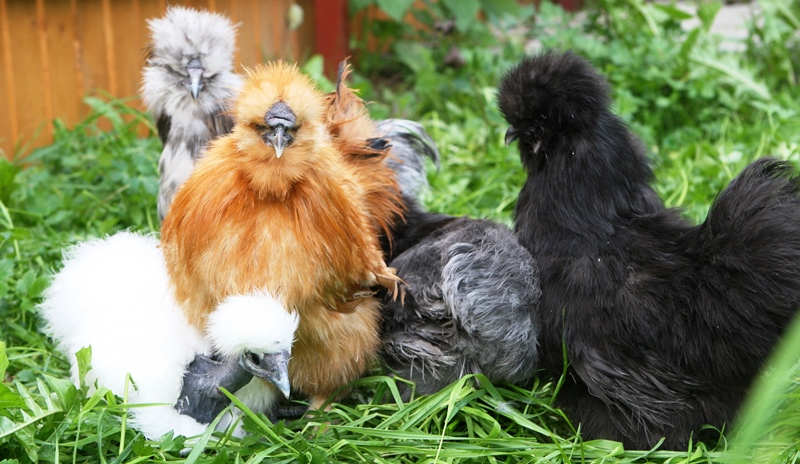Китайские куры китайская хохлатая курица