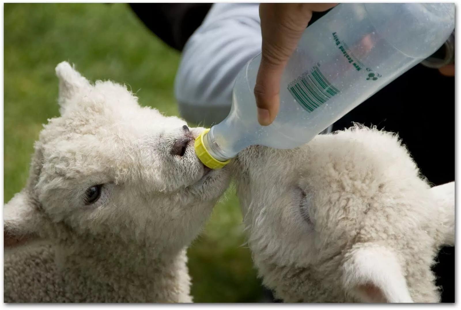 Чем кормить маленьких козлят