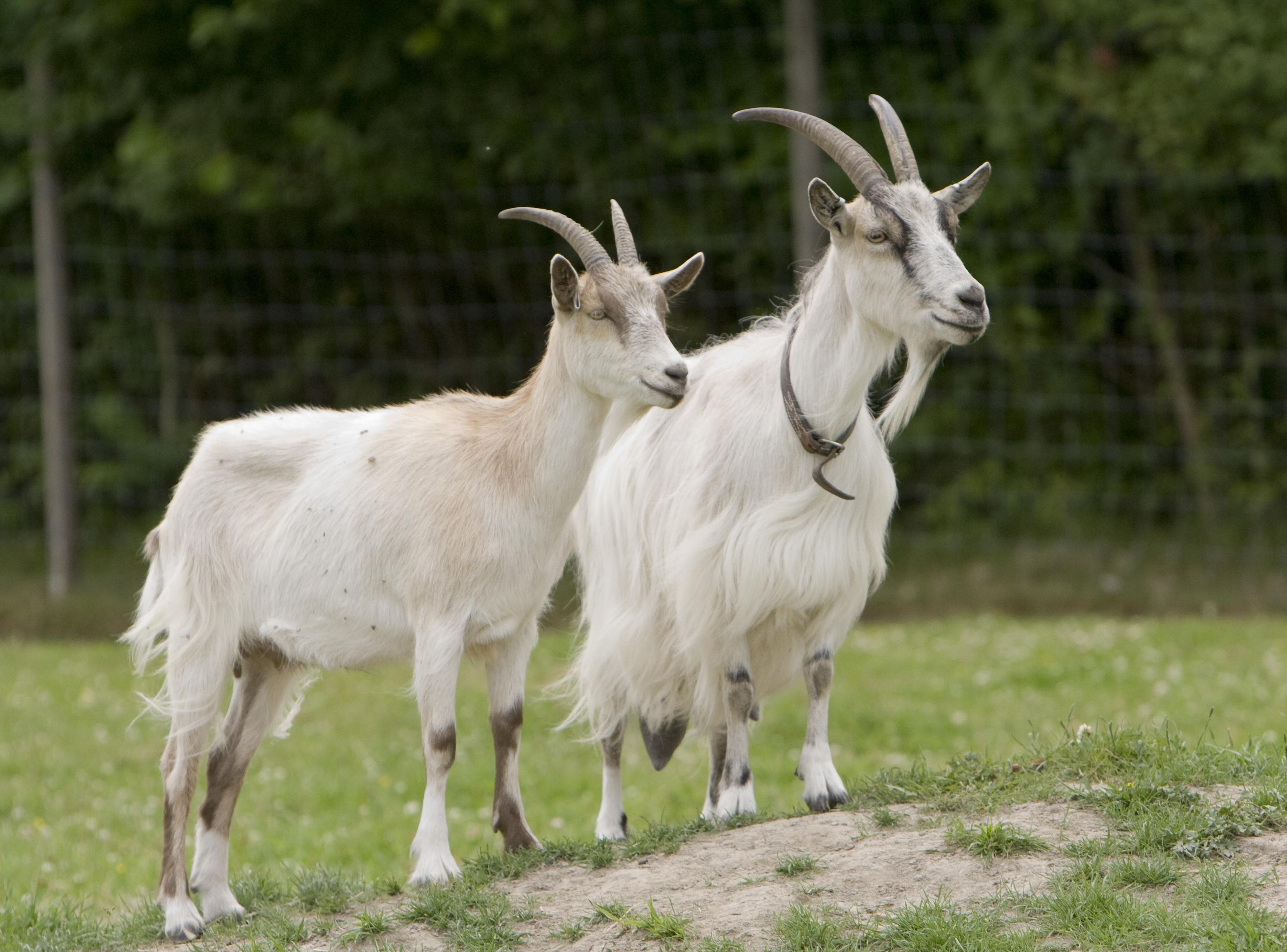 Как ухаживать за козой – АГРАРИЙ