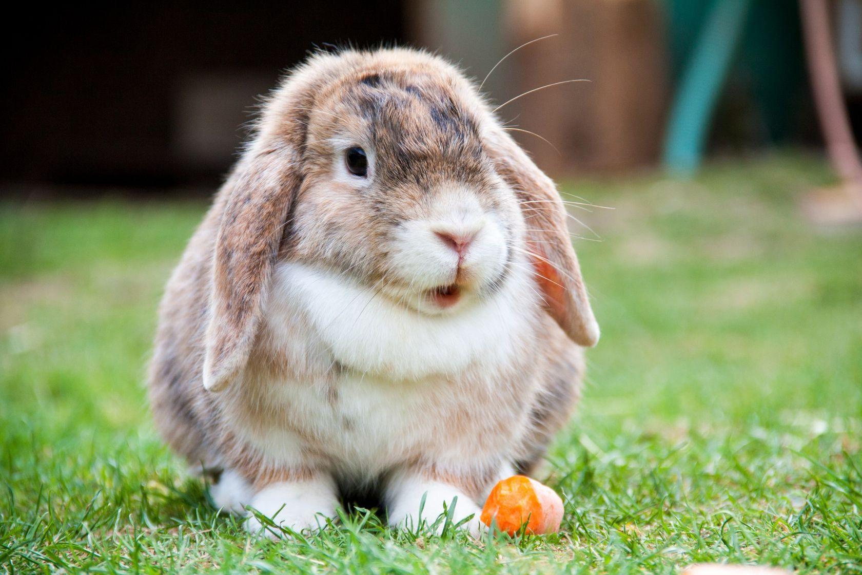 Французский кролик баран - разведение и описание породы — фото кролика породы французский баран кормление и уход
