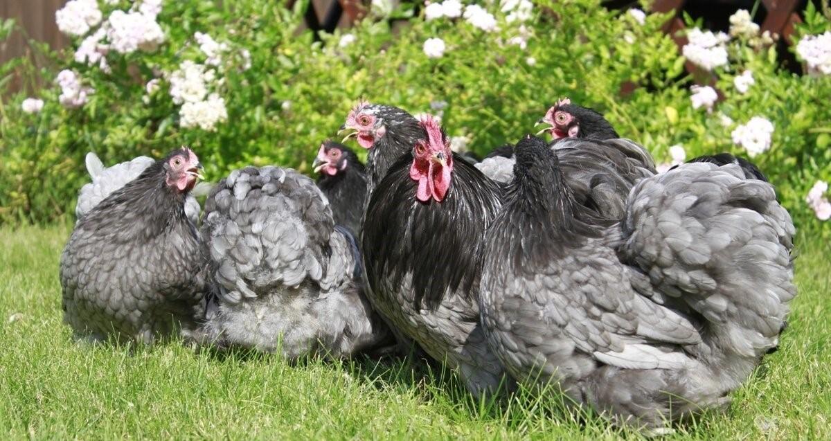 Куры кохинхины (49 фото): описание породы, яйценоскость и продуктивность, выращивание петухов, отзывы