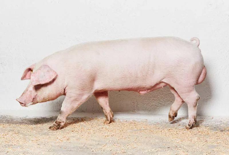 Загадка в картинках утка свинья заяц навсегда