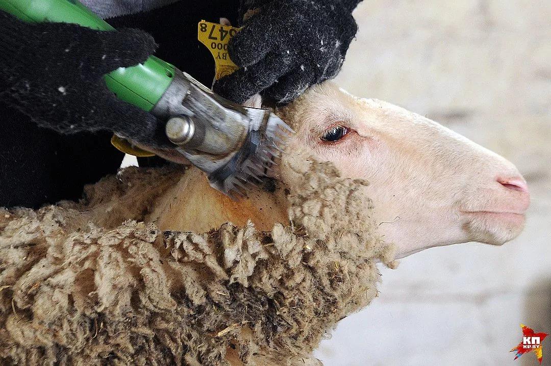Как выбрать ножницы для стрижки овец
