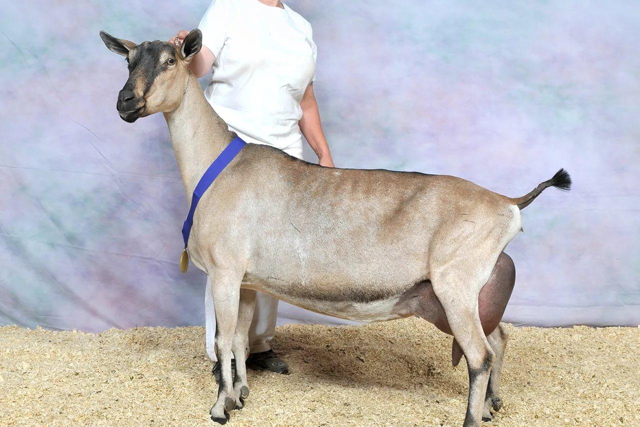 Породы коз молочных пород
