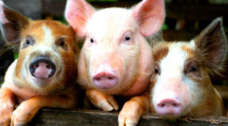 Свиньи породы домбре