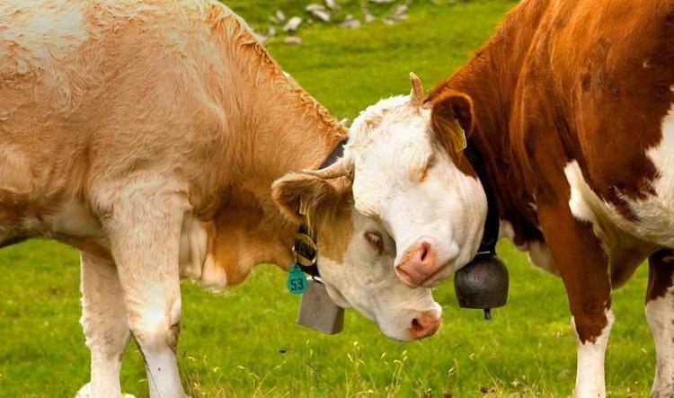 Корова пришла в охоту: определяем начало