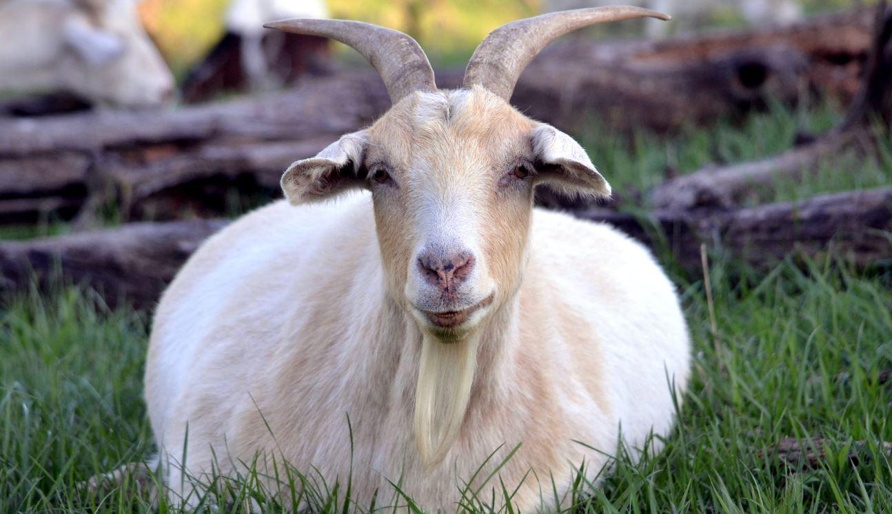 Тяжелые роды у козы