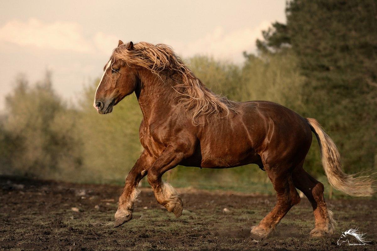 Лошадь тяжеловоз: названия пород, их описание и характеристика, где применяют