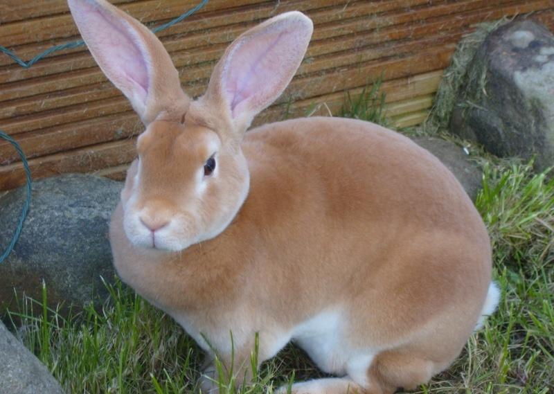 Кролик Рекс: фото, описание породы, содержание и уход, разведение