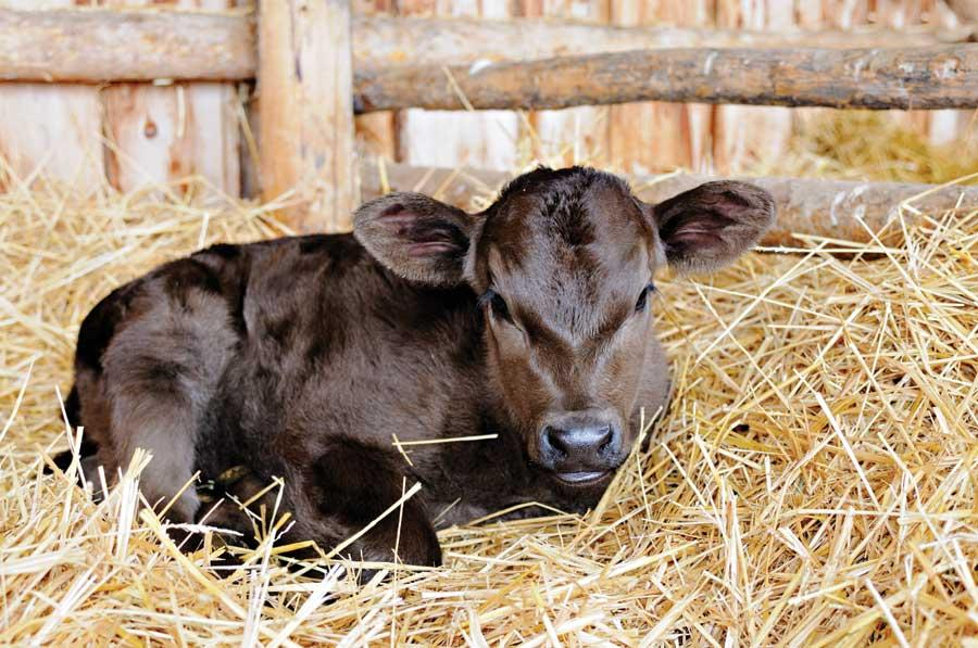 Новорожденные телята уход поение кормление