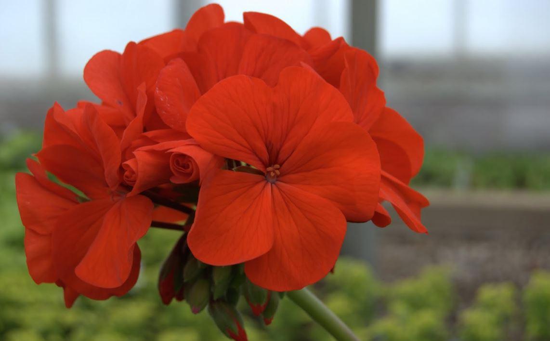 Зональная пеларгония: домашний неприхотливый цветок