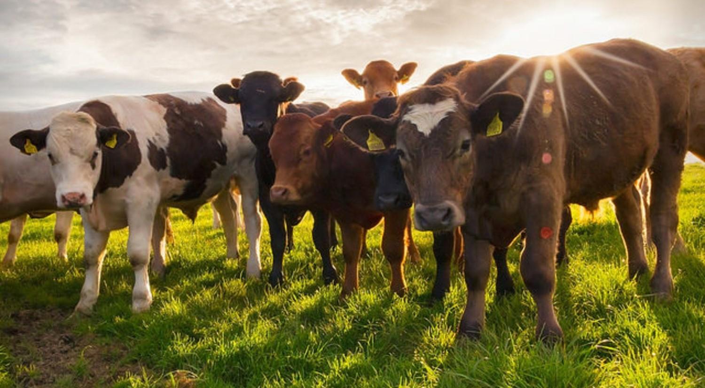 Какая порода коров белого цвета