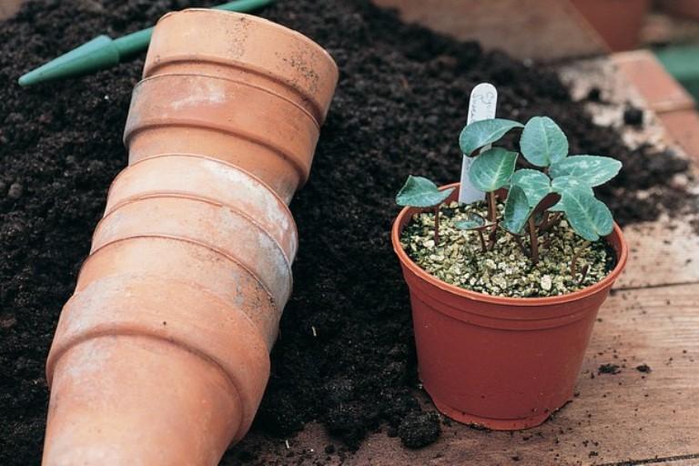 Цикламен европейский 44 фото как вырастить из семян и луковицы Особенности размножения и ухода в домашних условиях Какая земля подходит Как еще называют цветок