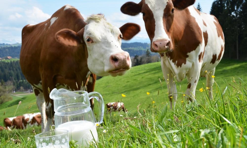 Высокоудойная корова сколько дает молока