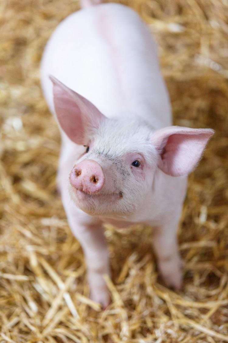 БМВД для быстрого роста свиней