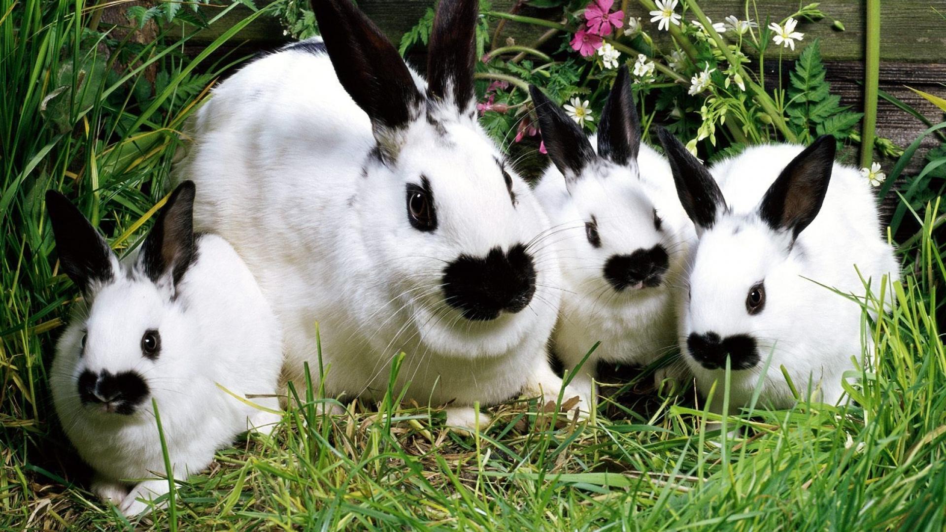 Кролики породы Бабочка: фото, описание, разведение и содержание