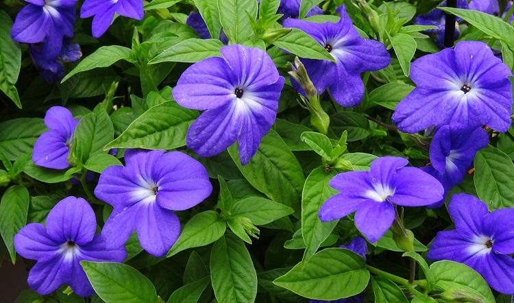 Броваллия (27 фото): выращивание из семян в домашних условиях, уход за цветком. Особенности сортов «Сильвер белл» и «Блу белл», «Марине» и «Океан микс», «Верность» и «Беллс индиго»