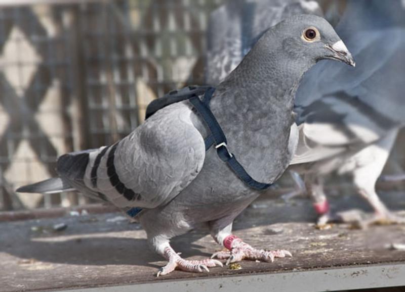pochtovye-golubi-osobennosti-i-vidy-vyra