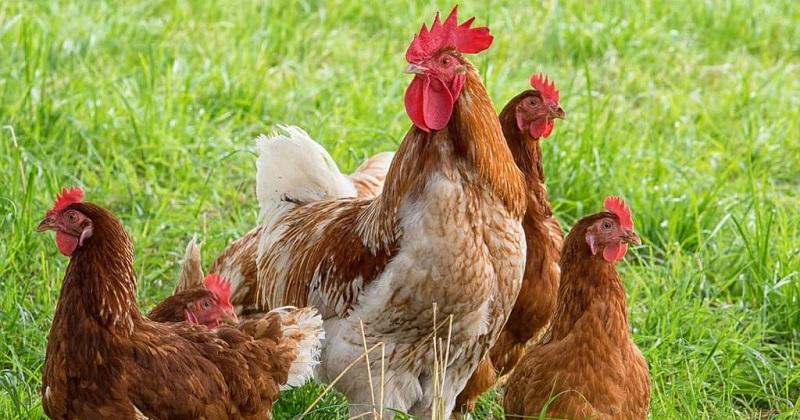 Сколько в среднем живет курица