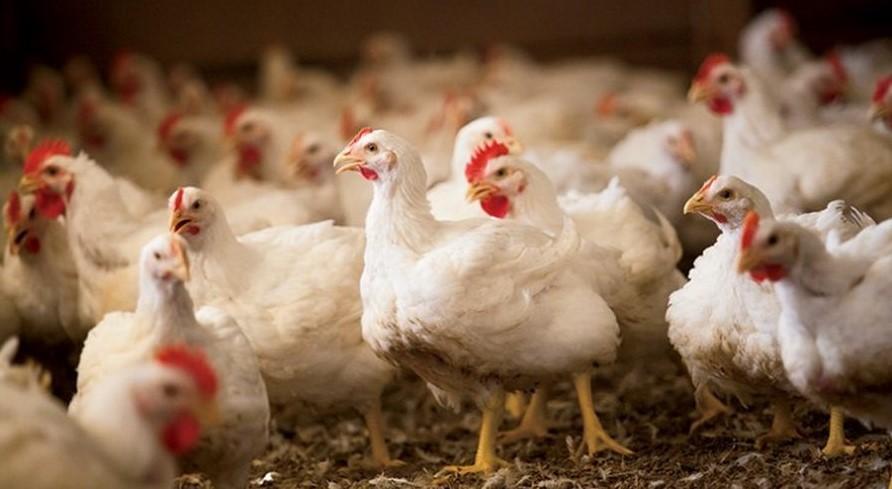 Определение и измерение качества суточных цыплят