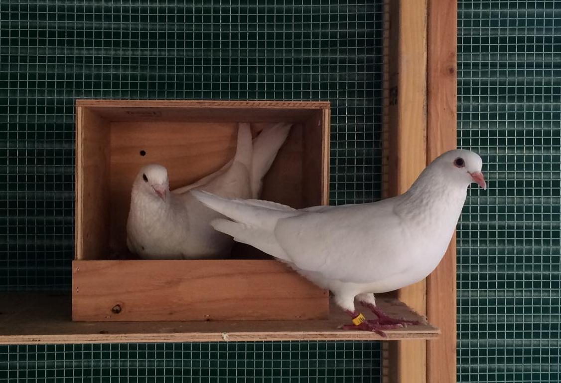Как сделать гнездо для голубя своими руками.