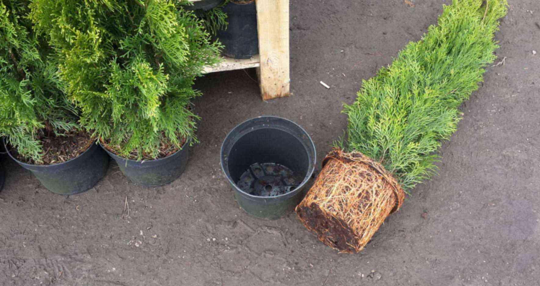Пересадка туи осенью: когда и как лучше высаживать взрослое дерево или саженец на новое место