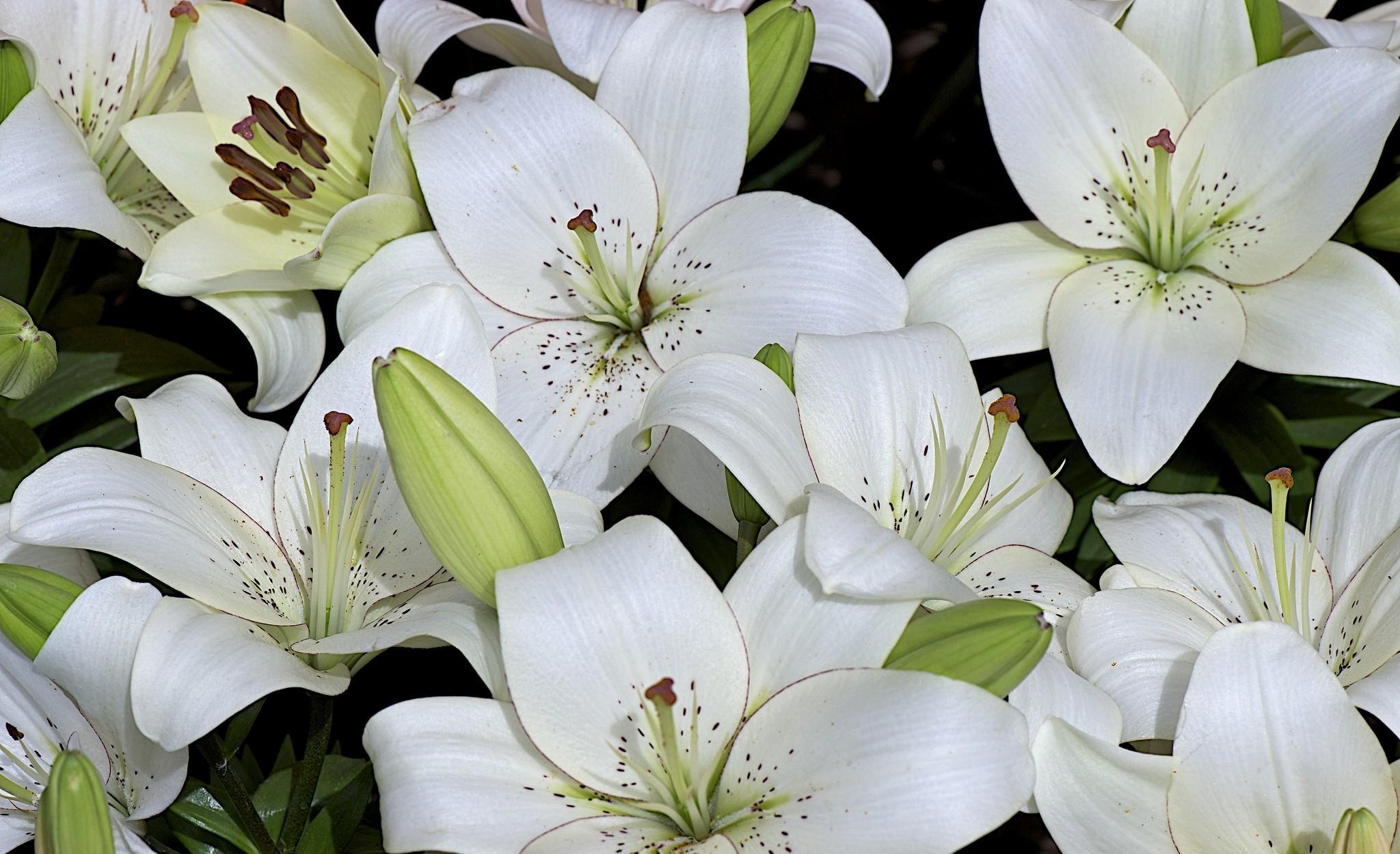 найти картинки белых лилий именно