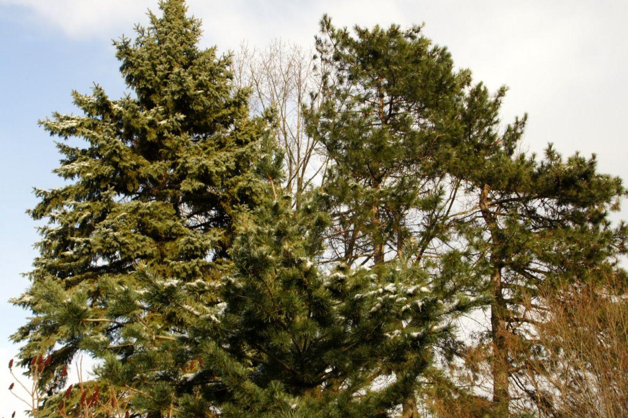 Елка это хвойное дерево